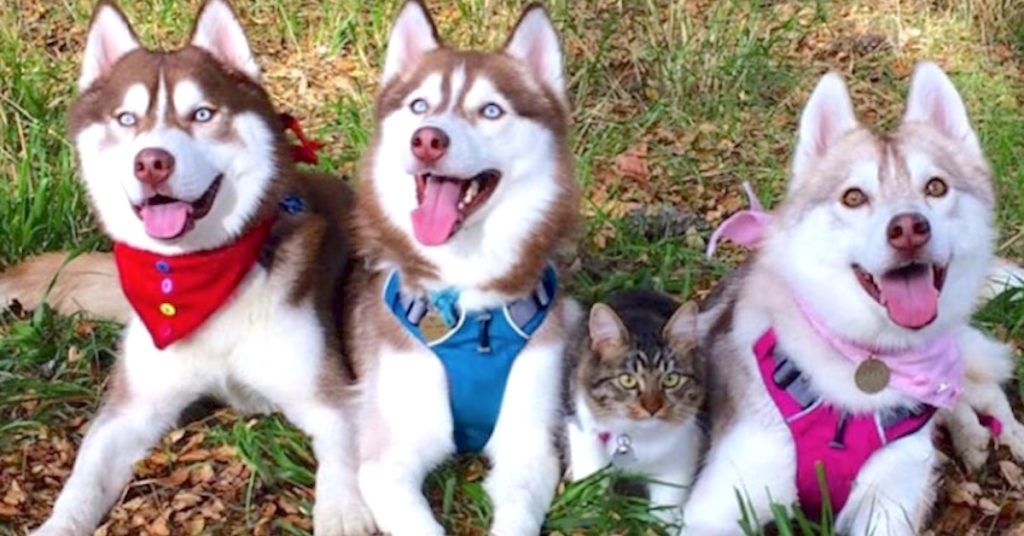 Funny Kitten Rescued By Huskies Now Thinks Shes One Of The Pack